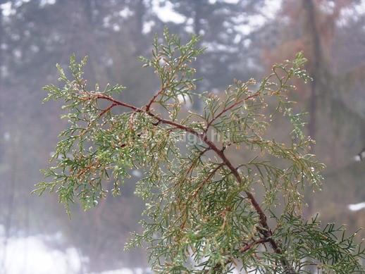 6 Cupressus duclouxiana
