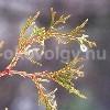 Cupressus darjeelingensis