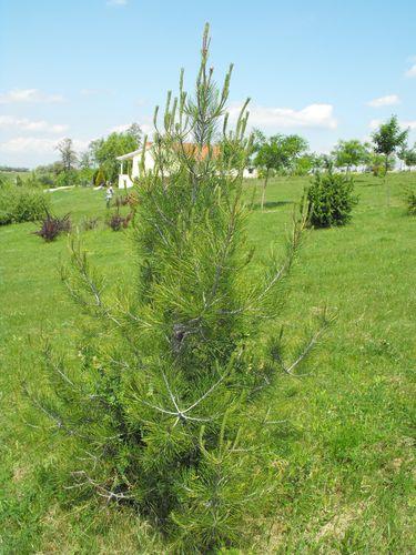 pinus-eldarica