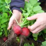 Film a téli zöldségtermesztésről