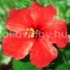 hibiscus 100x100